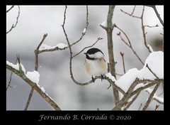 Black-capped Chickadee (2903) (fbc57) Tags: birds nikond850 sigma60600f4563dgoshsms southburlington vermont blackcappedchickadee poecileatricapillus chickadees paridae winter