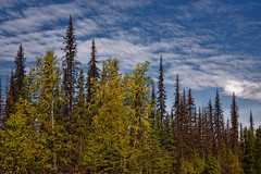 Getting Travel Advice from the Welcome Center of the Forest (Denali State Park) (thor_mark ) Tags: alaska2019 alaskarange alaskayukonranges azimuth318 blueskies bluesskieswithclouds clouds colorefexpro day6 denalistatepark dxophotolab3edited evergreentrees evergreens hayesrange imagecapturewitharsenal landscape littlecoalcreektrail lookingnw nature nikond800e outside partlycloudy portfolio project365 sunny talltrees talltreesallaround trees witharsenal alaska unitedstates