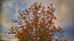 Maple Sky (GEORGE TSIMTSIMIS) Tags: maple sky clouds autumn fall outdoorphotograohy analoguephotography sonyxperiaxa1ultra colour naure art explore tree