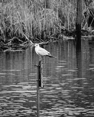 Ring Billed Gull on a Sign (BobAMac) Tags: northcarolina lakerimpark blackandwhite ringbilledgull sign fayetteville cumberlandcounty reeds waterfowl