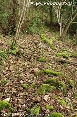 RAINTONPARK WOOD: 'Old Walls' (nigelalandodds) Tags: raintonparkwood oldwalls raintonpark wood old walls durham archaeology