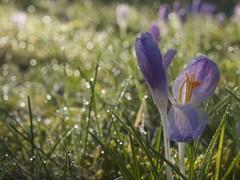 FRÜHLINGSBOTEN (hlh 1960) Tags: spring frühling blumen flower bokeh lila januar gras nature natur germany krokuss