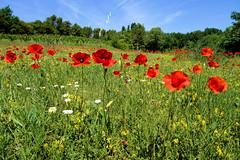 P1010912 (alainazer) Tags: bédoin vaucluse provence france fiori fleurs flowers fields champs colori colors couleurs ciel cielo sky coquelicot poppy papavero arbre albero tree