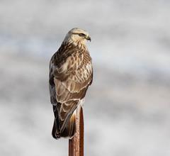 Rough-legged Hawk (Northern Desert Photography) Tags: bird birds raptor raptors birdofprey hawk hawks nature animal roughleggedhawk