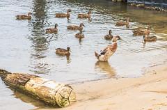 Ducks swimming in the bay (Merrillie) Tags: log woywoy waterfront nature australia birds aquatic animal waterbirds nsw brisbanewater hybrid wildlife ducks mallard bay bird duck outdoors animals fauna centralcoast mallards water