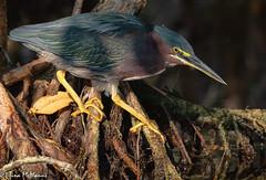 Green Heron on the prowl (NorthShoreTina) Tags: heron greenheron