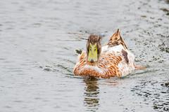 Hybrid Mallard Duck swimming in the bay (Merrillie) Tags: duck nature water birds mallard animal nsw hybrid wildlife bird bay outdoors animals fauna centralcoast woywoy australia