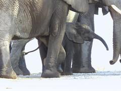 I also have a trunk!  ( Elephants  /  Olifante ) (Pixi2011) Tags: elephants krugernationalpark southafrica africa wildlifeafrica afica wildlife big5 wildanimals animals nature