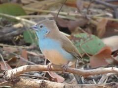 Blue Waxbill  /  Gewone Blousysie (Pixi2011) Tags: birds krugernationalpark southafrica africa wildbirds nature