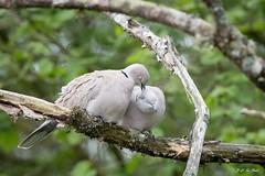 DSC_4590 (P2 New) Tags: 2019 animaux avril bretagne colombiformes columbidés date etangdecareil france illeetvilaine localité oiseaux tourterelleturque