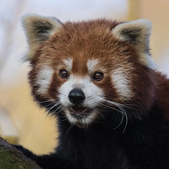 Kleiner Panda (Petra Güldner) Tags: zooduisburg kleiner panda