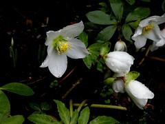 hellébore (renonculacées) (Bernard P.) Tags: fleurs hiver jardin nature blanc