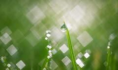 Dewdrop (Dhina A) Tags: sony a7rii ilce7rm2 a7r2 a7r meoptabelar 75mm f45 meoptabelar75mmf45 prime manuallens enlarginglens enlarging squarebokeh square bokeh 4blades dewdrop droplets water drop