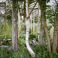 Greenhouses III - Kodak Porta 160 (magnus.joensson) Tags: phototrip01 sweden swedish skåne summer july rolleiflex carl zeiss tessar 75mm kodak porta 160 6x6 medium format c41 greenhouse