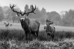 Just stand there and look magnificent (andy_AHG) Tags: wildlife winter stag antlers animals nikond300s yorkshire reddeer hind
