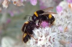 Will you Bee Okay ? (Lani Elliott) Tags: flowers bee bumblebee garden homegarden macro macrophotography macrounlimited upclose closeup bokeh light bright furry lanisgarden lanielliott nature naturephotography insect