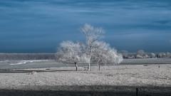 A beautiful trio (Roland B43) Tags: trees trio landscape winter damme belgium fauxcolor vivitar28mm28 vintagelens