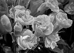 Day 18/366: Supermarket Carnations (Anne Marie Clarke) Tags: carnations blackandwhite petals supermarket 366 onephotoadaychallenge 2020 iphone