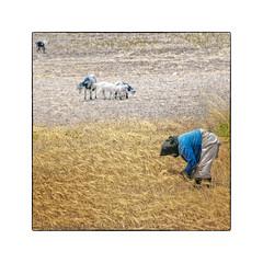Avlona near Olympos (My digital Gallery) Tags: avlona karpathos greece griechenland griechischeinseln dodekanes greekislands ernte korn harvest women frau working arbeit kornfeld