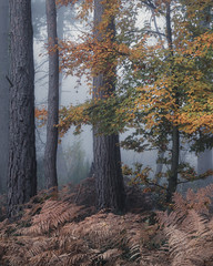 Still Life (Andrew G Robertson) Tags: woodland burnham beeches autumn fall mist dawn fog