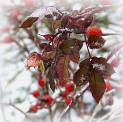 Frosty January (swetlanahasenjäger) Tags: rosen hagebutte frost januar winter2014 крещенскиеморозы coth