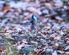 Tarsiger cyanurus (shinichiro*) Tags: 町田市 東京都 日本 20200115ds23059 2020 crazyshin nikonz6 z6 ftz sigma150600mmf563dgoshsmcontemporary winter january tokyo japan jp 薬師池公園 bird birds sspriority isoauto 49407536418 9450128 202001esp