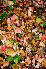 Life and death (mkk707) Tags: film 35mmfilm analog manualfocuslens vintagefilmcamera vintagelens halfformat halfframe olympuspenf zuiko5090mmf35 kodakportra800 wwwmeinfilmlabde autumn leaves