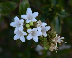 Palo de Asta, Cordia sonorae (Dave Beaudette) Tags: boraginaceae cordiasonorae tucson pimacounty arizona palo de asta palodeasta