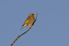 Greenfinch (Baractus) Tags: earlswood west midlands uk john oates lakes greenfinch european
