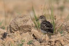 Long-toed Stint (MEphotog) Tags: longtoed stint singapore wild migratory bird neo tiew harvest link