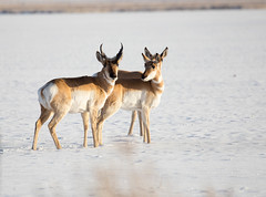 Winter Pronghorn (Northern Desert Photography) Tags: pronghorn antelope wildlife animals animal nature wildlifephotography winter