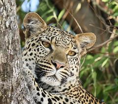 Leopard Marothodi - Moremi Game Reserve - Delta of Okavango - Botswana - (lotusblancphotography) Tags: africa afrique botswana okavango animal nature wildlife safari faune leopard léopard