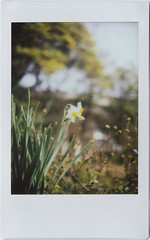 daffodils everywhere~~ (breeze.kaze) Tags: 水仙の花 sunny winter minttf70 fujiinstaxminifilm instantfilm