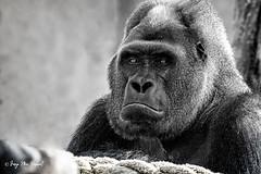 The boss (McGuiver) Tags: canon canon7dmarkii canon70200 zoo barcelona gorila gorilla blackwhite blancinegre blancoynegro portrait retrat retrato