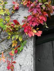 Selbstkletternde Jungfernrebe (Parthenocissus quinquefolia) im Herbst an der Mühle in Wohlde; Stapelholm (7) (Chironius) Tags: stapelholm schleswigholstein deutschland germany allemagne alemania germania германия niemcy wohlde herbst herfst autumn autunno efteråret otoño höst jesień осень rosids vitales weinrebenartige vitaceae weinrebengewächse rot laub sg
