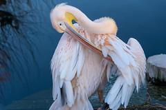 Fett ist gut für die Federn (KurtFML) Tags: wilhelma pelikan vogel