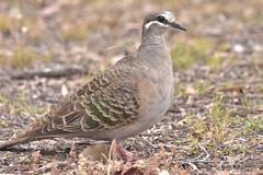 Common Bronzewing (Luke6876) Tags: commonbronzewing bronzewing pigeon bird animal wildlife australianwildlife nature