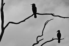 Little Black Cormorants (Luke6876) Tags: littleblackcormorant cormorant bird animal wildlife australianwildlife nature bw monochrome blackwhite