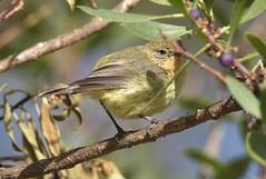 Yellow Thornbill (Luke6876) Tags: yellowthornbill thornbill bird animal wildlife australianwildlife nature