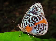 Eunica sophonisba (hippobosca) Tags: butterfly ecuador nymphalidae macro insect lepidoptera eunicasophonisba