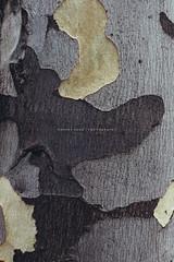 Eucalyptus Tree Bark (Robert Lang Photography) Tags: eucalyptustreebark eucalyptus tree bark texture pattern peeling exterior flora colour color grey darkgrey lightgrey alive green vertical nature nopeople robertlangphotography robertlang robertlangportlincoln robertlangaustralia wwwrobertlangcomau fujifilmx100t fuji fujifilm fujix100t tcl100