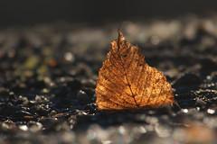 Motljus (Håkan Jylhä (Thanks for +1000000 views)) Tags: autumn winter vinter höst closeup close närbild dof bokeh motljus leaf löv rx10iv sony jylhä håkan