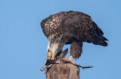 Brunch on a poletop (monte stinnett) Tags: baldeagle ruddyduck raptor birdofprey eaglel nikond5 600mmfl 14x