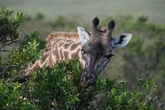 Masai Giraffe (Ian.Kate.Bruce's Wildlife) Tags: masaigiraffe maasaigiraffe kilimanjarogiraffe giraffacamelopardalistippelskirchii giraffidae mammal wildlife nature ianbruce katebruce masaimara kenya africa endangered