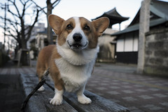 EIN 今日のお散歩♪ (luckyno3) Tags: pembrokewelshcorgi dog animal コーギー