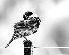 Loica Común - Cordoba (Jose Lozada Naturaleza (Argentina)) Tags: loicacomún hashtagfliker ave afona avesargentinas wildlifeargentina naturalezaargentina beautifulbirds bird passaro pájaro nature wildlife bestwildlife argentina cordoba córdoba sierrasdecordoba art natureart arte naturaleza wildbirds animales arteargentina patagonia misiones nikon d500 nikkor200500 josélozadanaturaleza josélozada joselozada sudamérica avesdesudamerica fotógrafos fotógrafosargentinos birdofinstagram instagram facebook avesdeargentina greatbirds wildshots fotógrafosdecordoba paint naturepaint bestshots flickrbirds avesdesudamérica instabirds artbird bestbirds naturephotoa naturephotograph bestphotos