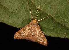 Crambid Moth (Neoanalthes sp., Crambidae) (John Horstman (itchydogimages, SINOBUG)) Tags: insect macro china yunnan itchydogimages sinobug entomology canon moth lepidoptera crambidae fbipm