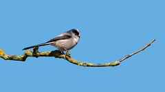 a long tailed tit (Franck Zumella) Tags: oiseau bird long tailed tit mesange longue queue blue bleu ciel sky top tree arbre branche branch alone seul sony a7s a7 tamron 150600 orite a7r