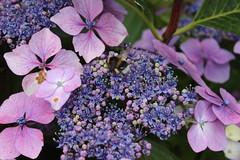 Bee on Flowers (pegase1972) Tags: ireland irlande fleur flower bee abeille insect eire europe licensed dreamstime shutter shutterstock eyeem fotolia adobe adobestock 123rf rf123
