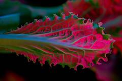 Leaf lettuce. Macro. Fluorescence (oldTor) Tags: ultraviolet fluorescence luminescence 365nm uvivf plants macro leaf lettuce vivitar macrolens macrophotography vintagelens m39 enlarging manuallenses enlarginglens vivitarlu мануальныеобъективы oldtor hdr макро ультрафиолет флуоресценция макрофотография люминесценция макрофото макрообъективы zwb2